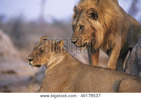 Pair of Lions resting