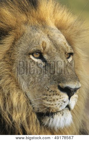 Male Lion close-up of head