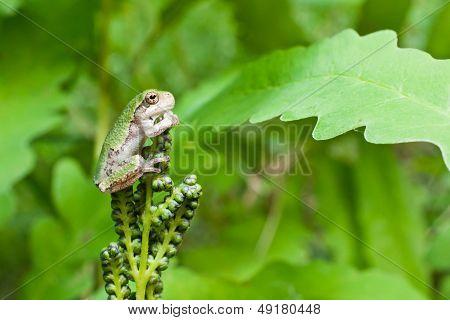 Gray Treefrog Metamorph