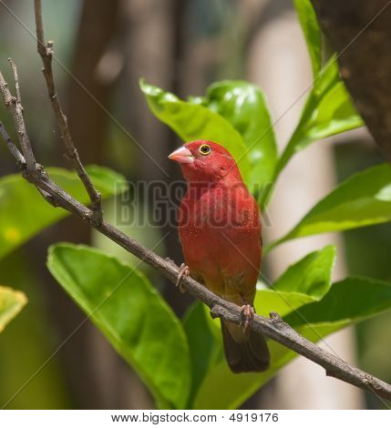 Red-billed Firefinch Male In Orange Tree In The Gambia