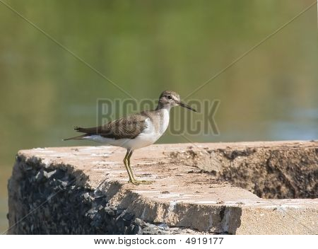 Common Sandpiper At Kotu Ponds, The Gambia