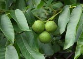 green walnuts on tree
