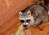 stock photo of dumpster  - Raccoon cowering in the corner of a dumpster that he could not get out of - JPG