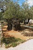 picture of gethsemane  - The great city of Jerusalem - JPG