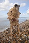 stock photo of herne bay beach  - Side view of mixed breed dog shaking off water on pebble beach in Herne Bay - JPG