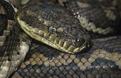 pic of pythons  - Carpet Python close - JPG