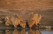 stock photo of cheetah  - Two Cheetahs  - JPG