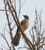 stock photo of babbler  - Blackcap Babbler in Orange Tree against sky in Bijilo The Gambia - JPG