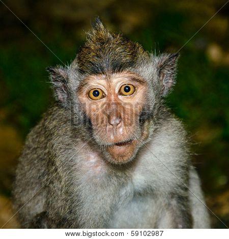 Naive monkey