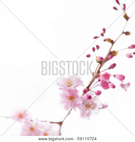 A branch of cherry blossom flower with flowers buds isolated on white.