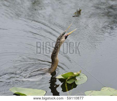 Anhinga Fishing In Wetland Pond