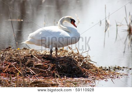 Swan on its nest by the lake
