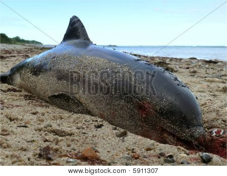 Dead Dolphin at the Beach