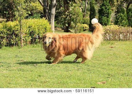 Golden Retriever Running Carrying A Rubber Ball