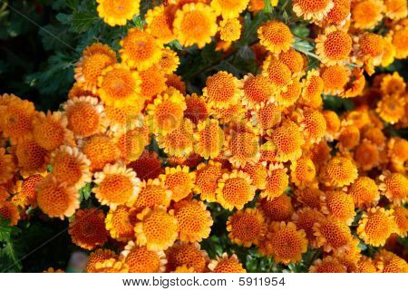 Field Of Chrysanthemums.