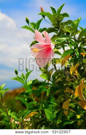 Perfect Pink Hibiscus Blossom in Natural Environment