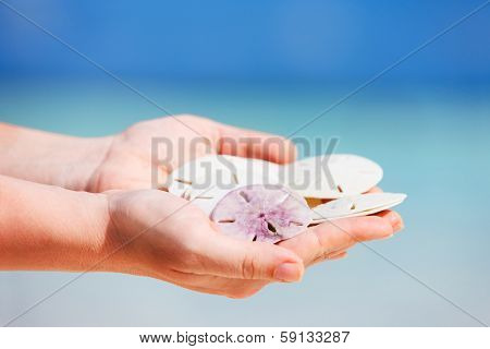 Close up of woman hands holding sand dollars