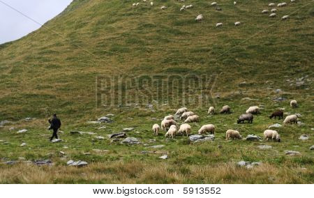 Lonely Shepherd