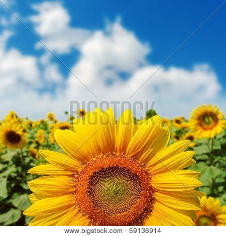 sunflower closeup on field under blue sky. soft focus