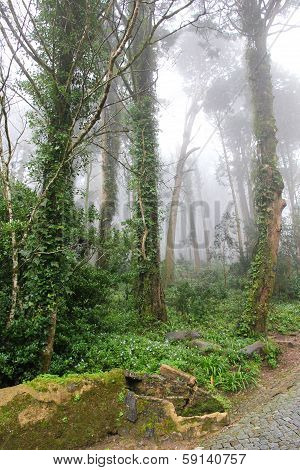 Portugal. Sintra. Relic Trees In Park Of Pena National Palace In Fog