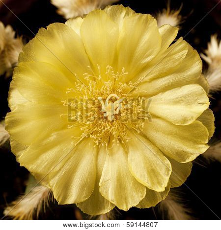 Cactus Flower With Yellow Leaves In Square Frame