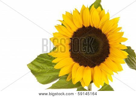 Sunflower Isolated In White