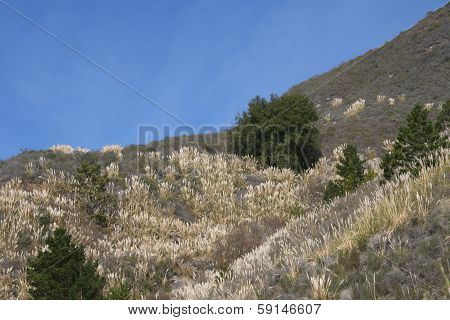 Invasive Pampas Grass on Big Sur California Mountain