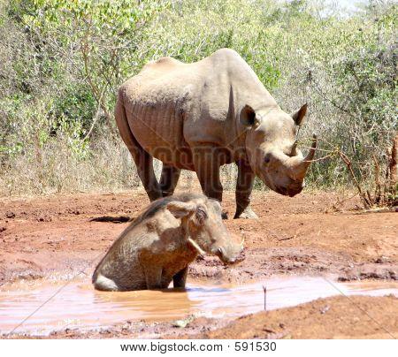 Averstruzes, rinocerontes e Warthog
