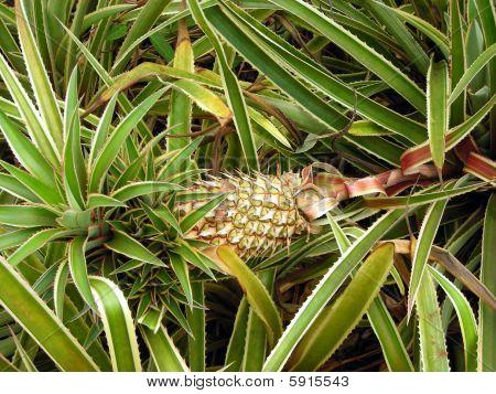 a pineapple growing on the Dole Plantation in O'ahu, Hawaii