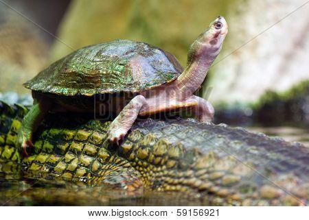 Tortoise Swiming On The Back Of Crocodile