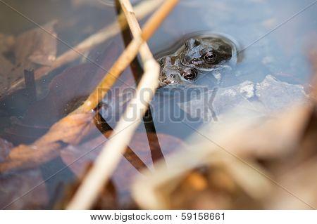 Common Frog, Rana Temporaria Mating