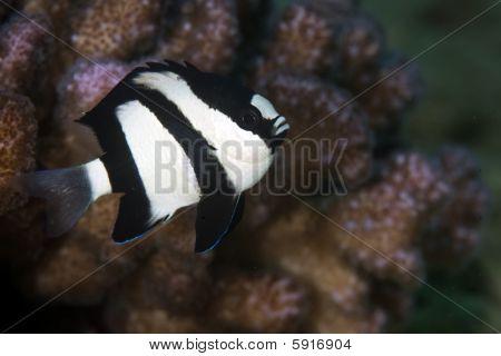 Humbug-Preußenfisch