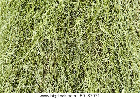 Spanish Moss Background