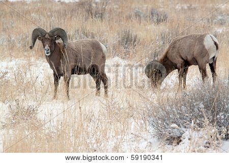 Bighorn rams in winter