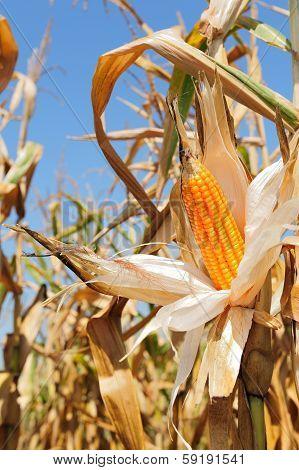 Corn Cob Yellow And Ripe