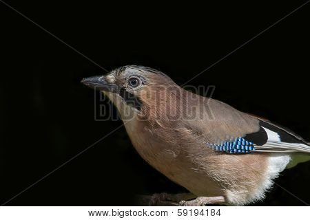 Jay  (garrulus Glandarius)
