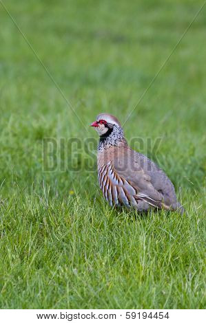 Red Legged Partridge (alectoris Rufa)