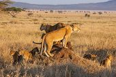 stock photo of food chain  - A lion pride hunts as a family during sunrise in the Serengeti of Tanzania.