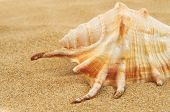 stock photo of giant spider conch  - closeup of a giant spider conch shell on the sand - JPG