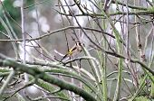 pic of goldfinches  - A Goldfinch perched on a branch of my apple tree at the bottom of my urban garden - JPG
