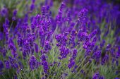 stock photo of lavender plant  - lavender growing in the countryside on a farm - JPG