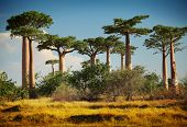image of baobab  - Baobab trees on a dry land at sunny day - JPG