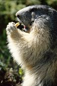 picture of marmot  - Close up of a Marmot standing and eating a piece of bread in Savoy France - JPG