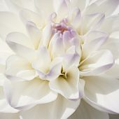 picture of extreme close-up  - Sparkling white bulb Dahlia in extreme close up and in a square frame - JPG