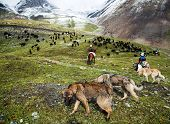 stock photo of cattle dog  - stockriders with dogs and flock in alay mountains - JPG