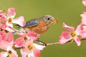 pic of dogwood  - Female Eastern Bluebird (Sialia sialis) with pink Dogwood flowers