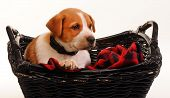 stock photo of heeler  - Nine week old red heeler puppy resting in basket - JPG