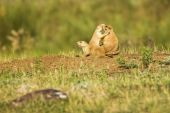 stock photo of blacktail  - Blacktailed Prairie Dog in the Black Hills of South Dakota - JPG
