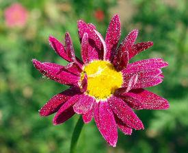 stock photo of feverfew  - Feverfew pink flower in the garden - JPG