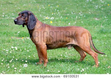 Bavarian Moutain Scenthound dog